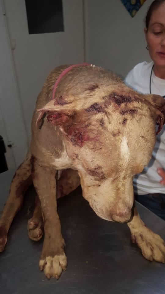 Senasa rescata perro con graves heridas provocadas por peleas ilegales