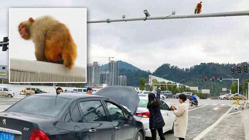 Mujer causa accidente tras confundirtrasero de un mono con una luz roja