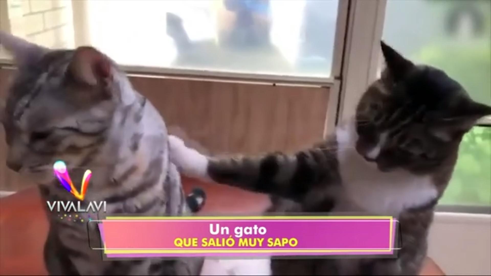 (+VIDEO) ¡Un gato muy sapo!