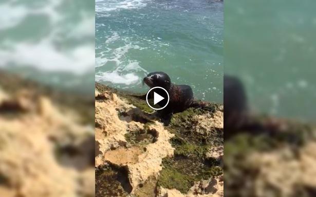 (+VIDEO) León Marino sorprende a bañistas de Malpaís