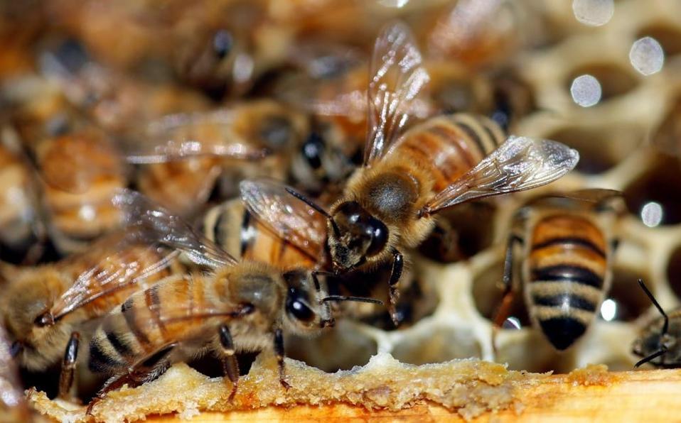 ¿Qué pasaría con la humanidad si las abejas desaparecen?