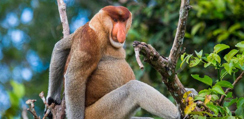 El Mono Narigudo es parte de esta lista. (Foto: Freepik)