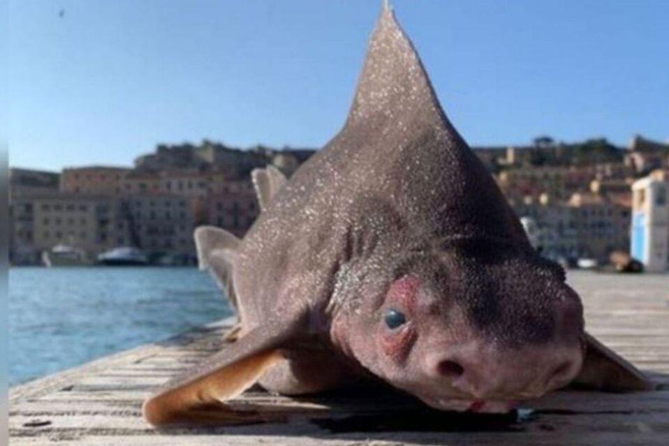 Hallan a extraño tiburón con cara de cerdo en isla de Italia