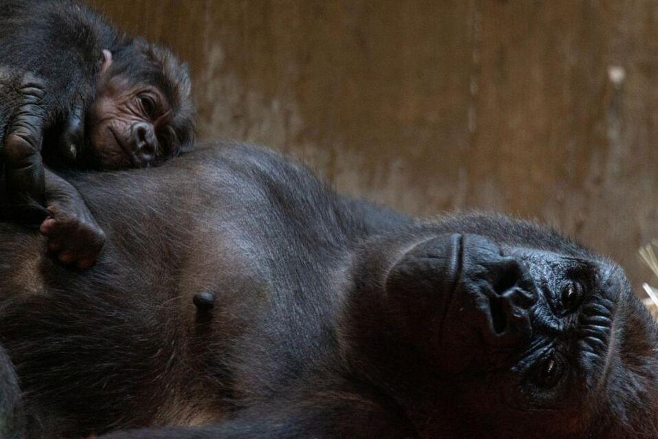 Gorilas de zoológico de Atlanta dan positivo a pruebas de Covid-19