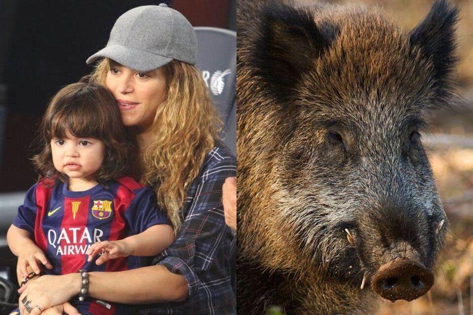 Shakira y su hijo Milán fueron atacados por dos jabalíes