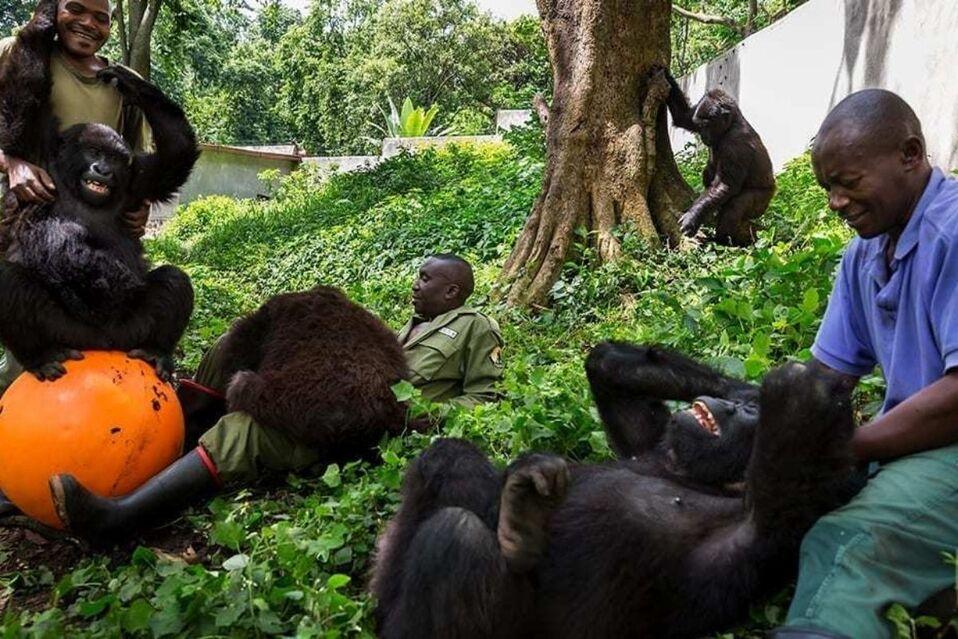 Gorilas junto a sus cuidadores en Parque Nacional Virunga